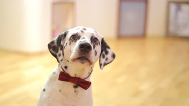 Dog breed Dalmatian dog looking at the camera
