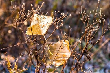 Two autumn leaves with drops of dew on the bush