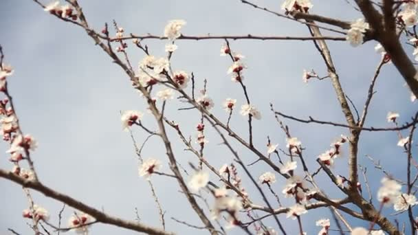 Meruňkový květ. Bílé květy kvetoucí na jaře