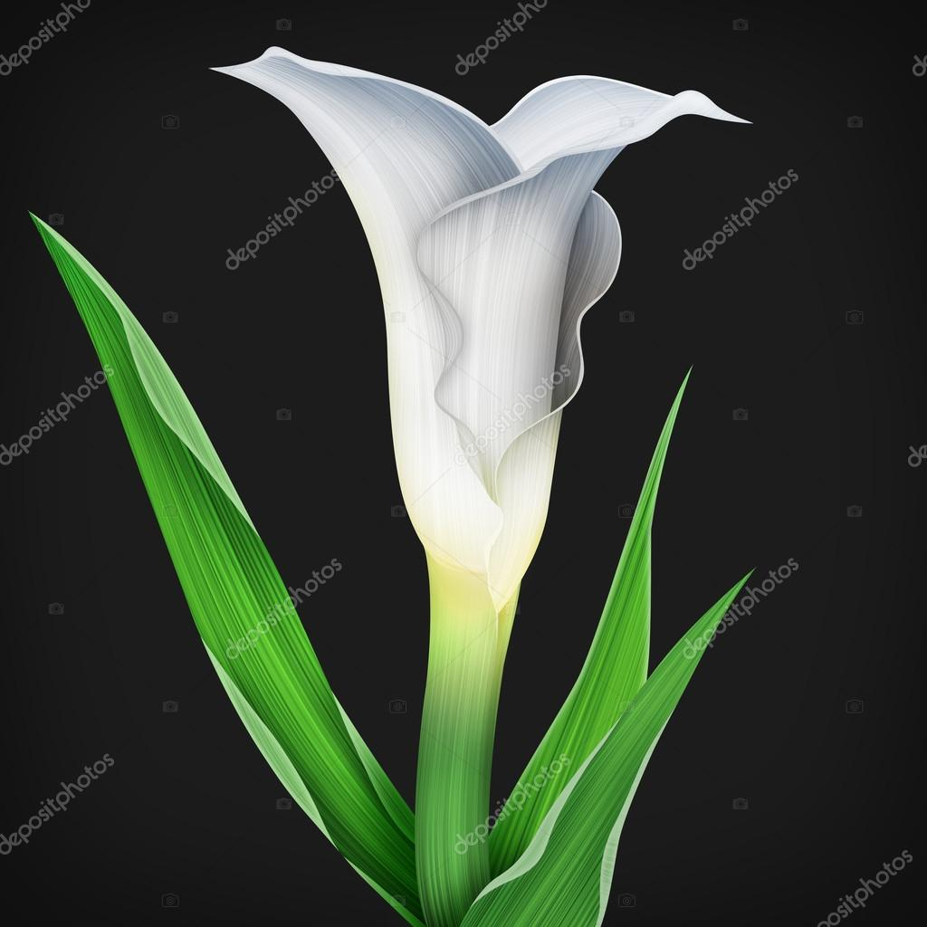 Calla Lily Flower And Green Leaves Pattern Stock Photo Themisha