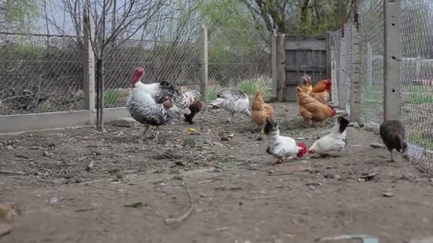 Group of cute poultry