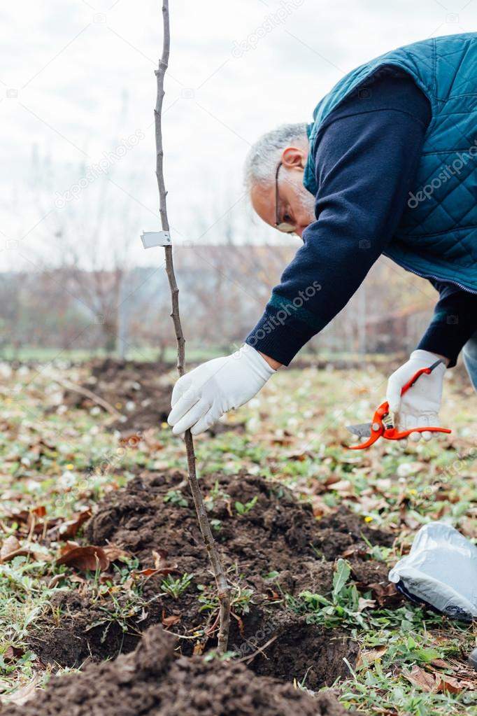 Agronomist with white gloves planting fruit trees