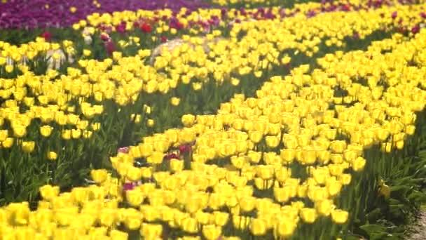 Barevné pole tulipánů v jarní sezóně, žlutý tulipán