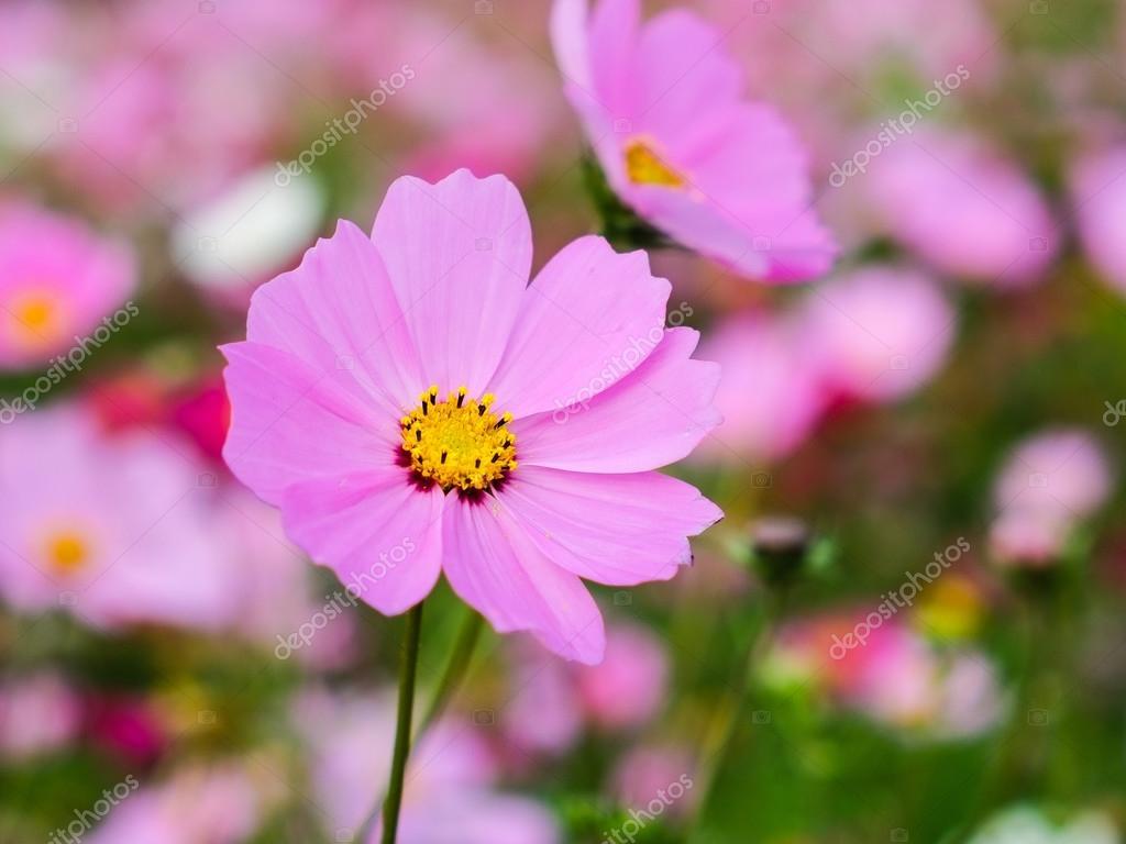 Фотообои цветы космеи на закате.