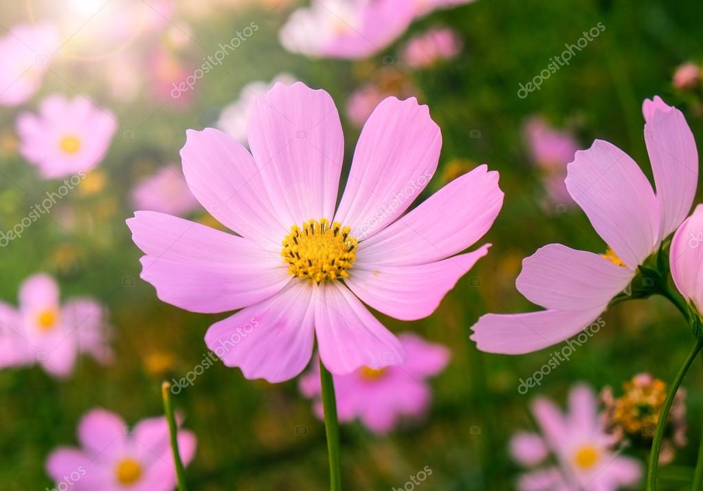 Фотообои cosmos flowers in sunset.