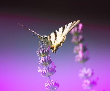 Scarce Swallowtail -Iphiclides podalirius L