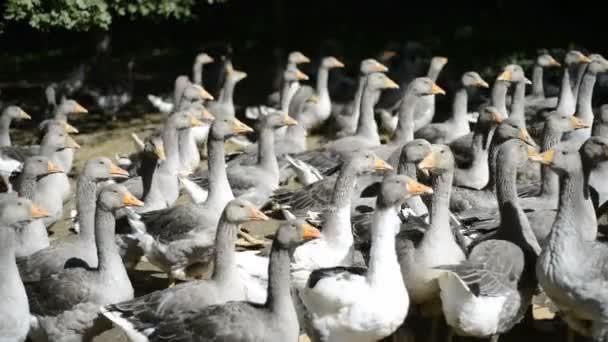 Perigord-Gänse, die für die Produktion von Foie gras gezüchtet werden
