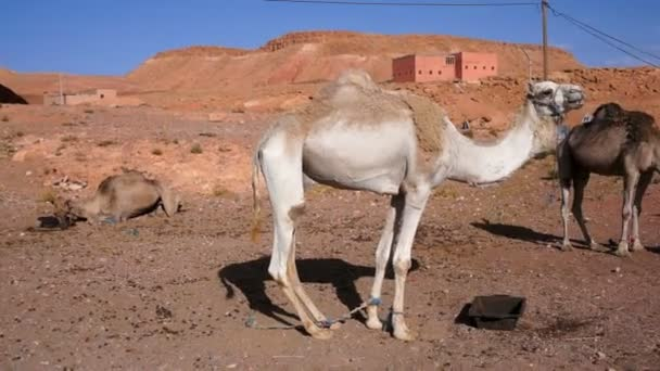 camels in front of a small village