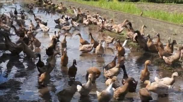 Ducks in a rice paddy