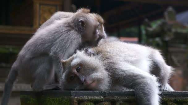 Opice seděl v chrámu