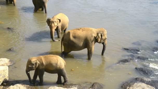 Asijské slony v řece