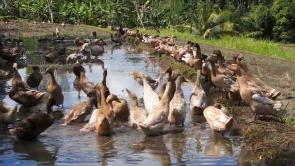 Kachny v rýžovišti