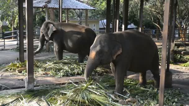 Asian elephants eat leaves