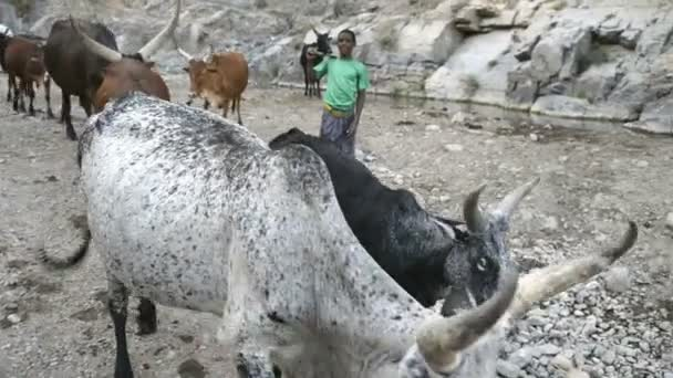 Boys herd a cattle
