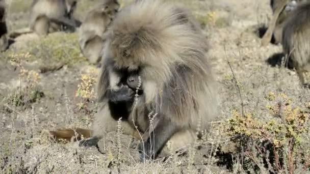Gelada baboons in National Park