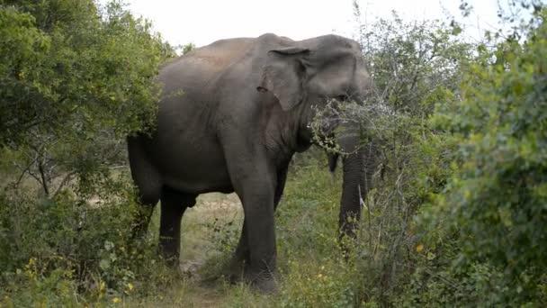 Ázsiai elefánt Kumana Nemzeti Park