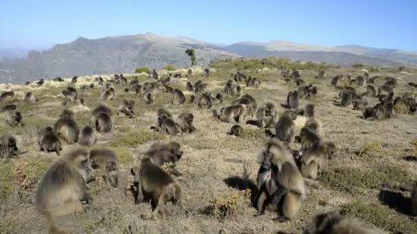 Gelada baboosn in National Park