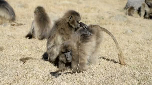 Gelada baboons in National Park
