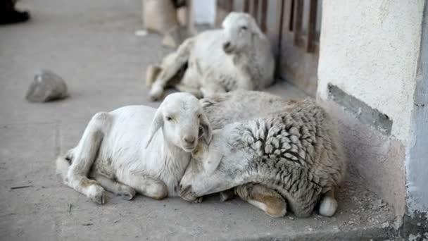 Three Sheep lay on courtyard