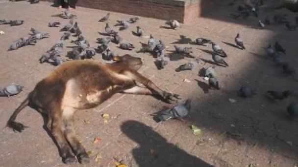 Kuh legt sich auf den Platz