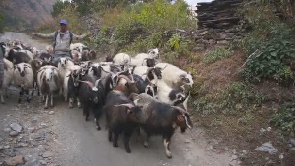 goatherd at Annapurna region