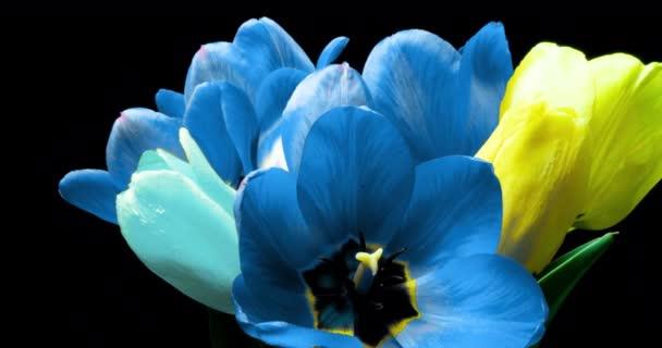 Tulipány. Včasná doba jasně růžové pruhované barevné tulipány květ kvetoucí na černém pozadí. Čas vypršel tulipány jarních květin otevření, detailní záběr. Vánoční kytici. Video UHD 4K