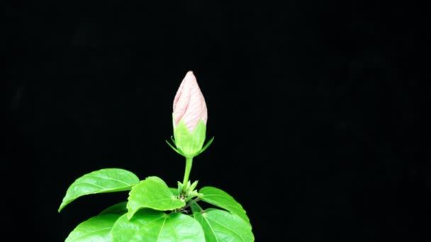 Timelapse sárga hibiszkusz virág virágzik a fekete háttér. Nyaralás, szerelem, születésnapi dizájn háttér. A másolás helye és helye szöveg vagy kép. 4k
