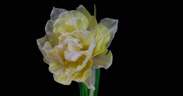Bílý tulipán kvete na černém pozadí, rozlišení alfa kanálu 4k