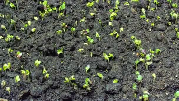 Mustard sprouting time lapse, 4k video