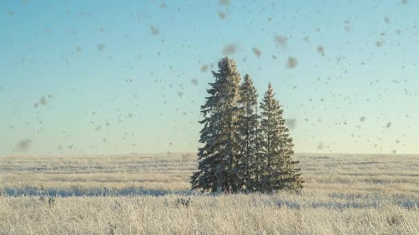 Winter landscape in a field with three snow-covered fir trees, beautiful snowfall, sunny weather. Cinemagraf , video loop