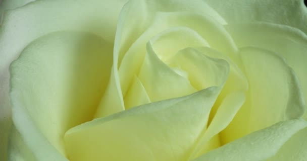 Růže kvete v čase. Jemný růžový květ na černém pozadí. Jemné světlé květinové pozadí. Načasování. Makro