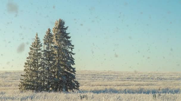 Winter landscape in a field with three snow-covered fir trees, beautiful snowfall, sunny weather. Cinemagraf , video loop, alpha channel snowfall