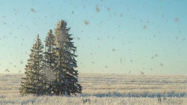 Winterlandschaft auf einem Feld mit drei schneebedeckten Tannen, schöner Schneefall, sonniges Wetter. Cinemagraf, Videoschleife