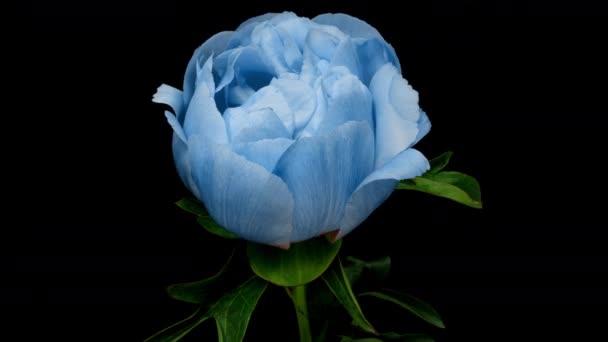 Zeitraffer spektakulärer blauer Pfingstrosenblume, die auf schwarzem Hintergrund blüht. Blühende Pfingstrose Blume offen, Zeitraffer, Nahaufnahme
