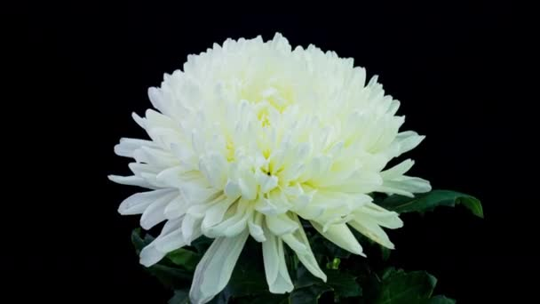 Time Lapse of Beautiful White Chrysanthemum Flower Opening Against a Black Background. 4K.