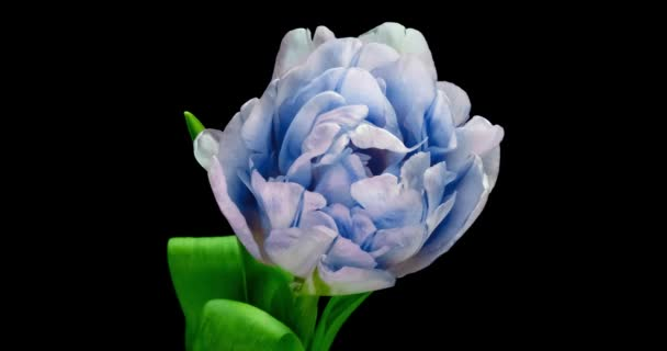 Opening of beautiful large blue Tulip flower on black background. Springtime. Holiday. Celebration, Love, birthday Timelapse. Close up. 4K