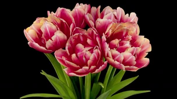 Hét fa tulipán burgundi színű. Fekete háttérrel elszigetelve. Időeltolódás