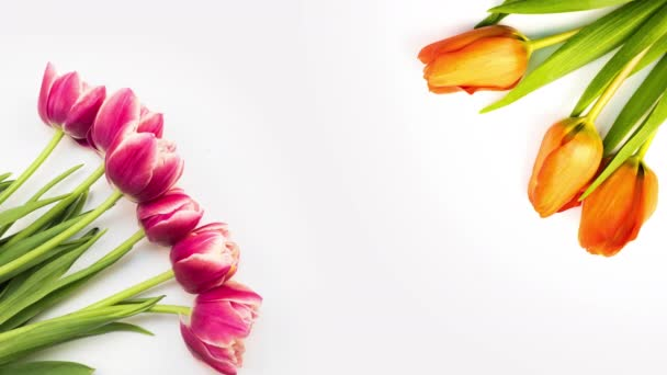 Tulips. Timelapse of bright pink striped colorful tulips flower blooming on white background. Time lapse tulip bunch of spring flowers opening, close-up. Holiday bouquet. Congratulations background