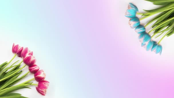 Tulpen. Zeitraffer von leuchtend rosa gestreiften bunten Tulpenblüten, die auf weißem Hintergrund blühen. Zeitraffer Tulpenstrauß von Frühlingsblumen, die sich öffnen, Nahaufnahme. Feiertagsstrauß. Herzlichen Glückwunsch