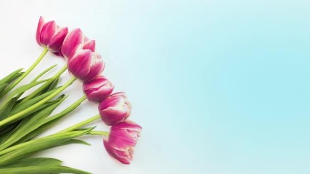 Tulipány. Včasná doba jasně růžové pruhované barevné tulipány květ kvetoucí na bílém pozadí. Čas vypršel tulipány jarních květin otevření, detailní záběr. Vánoční kytici. Gratulujeme pozadí