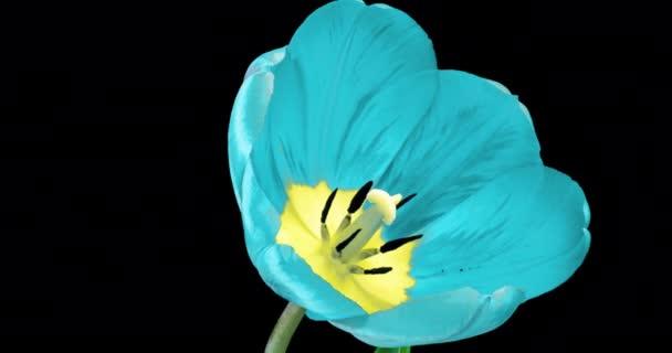 Včasná doba krásné modré tulipán květy kvetoucí otevřené na černém pozadí. Čas vypršel. Svatba, Valentýn, Den matek, Velikonoce, jarní koncept, láska, narozeninové pozadí.