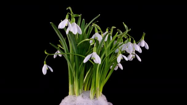 Timelapse of snowdrop flowers opening and melting snow on a black background, close-up. A bouquet of spring galanthus, spring flowers, time lapse. Concept spring, easter, primrose, 4k