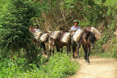 Vietnamese men guiding horses to carry cement to their village