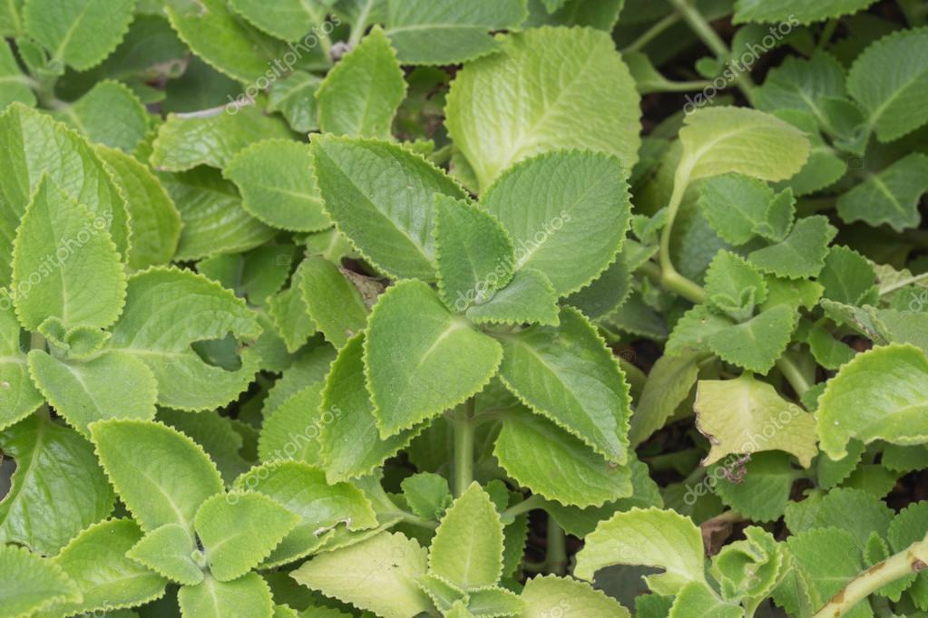 Gynura procumbens, leaves fresh blood sugar control