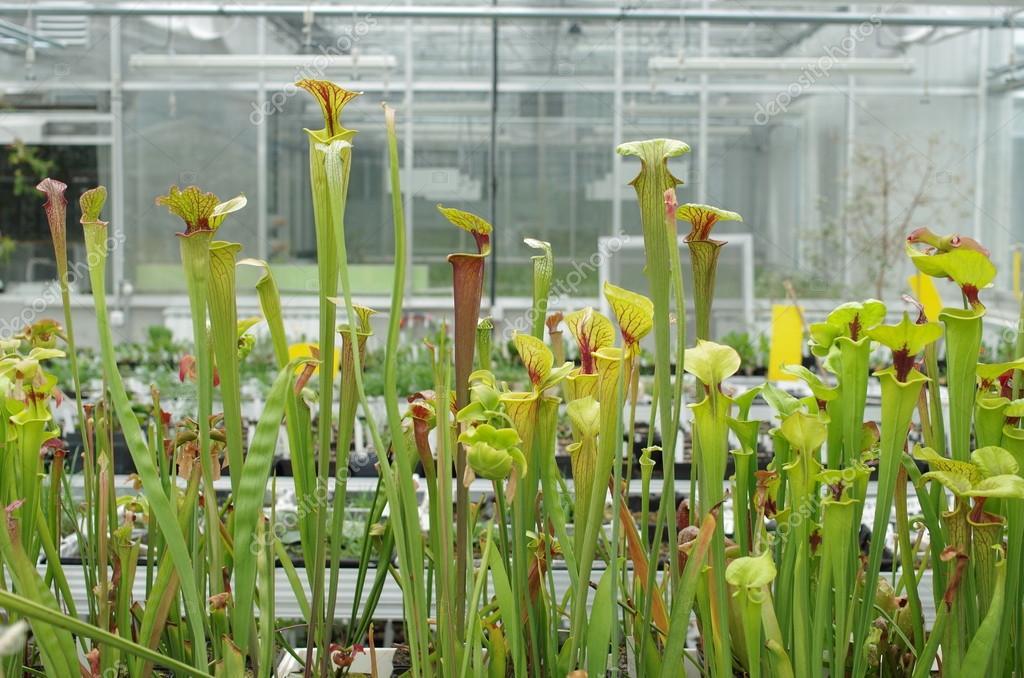サラセニア フラバ、食虫植物、...