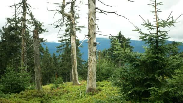 Mrtvé lesy Znečištění ovzduší panenskými stromy způsobuje kyselé deště, oxidy síry, ozon dusíku. Vliv emisí, smrk Picea abies Jeseníky Chráněná krajina, vyvrcholení dřeva, So2 emisní hora