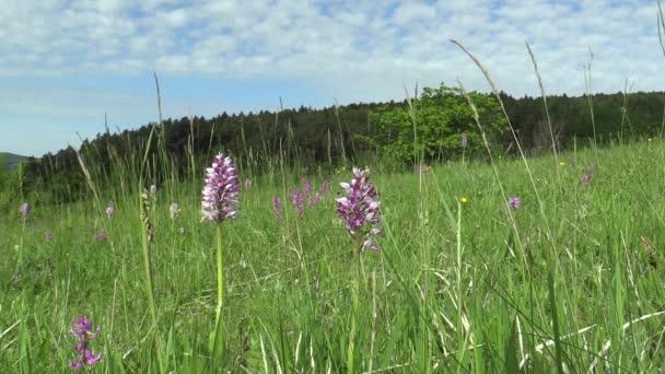 Divoké krásné fialové orchideje (Orchis militaris), louka,
