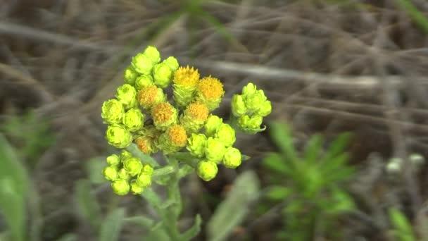 Volně žijící trpasličí everlast (Helichrysum arenarium), Jižní Morava, Česká republika, Evropa.