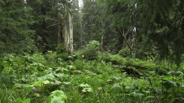 Smrkové pralesy v Npr Praděd