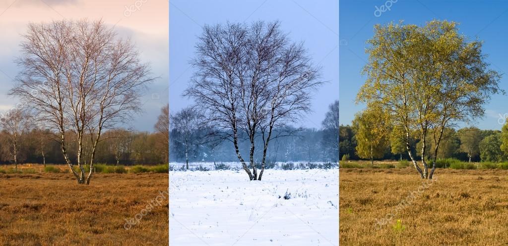 Birch tree in different seasons, Netherlands